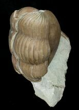 Buy Enrolled Illaenus Oculosus Trilobite - #6454