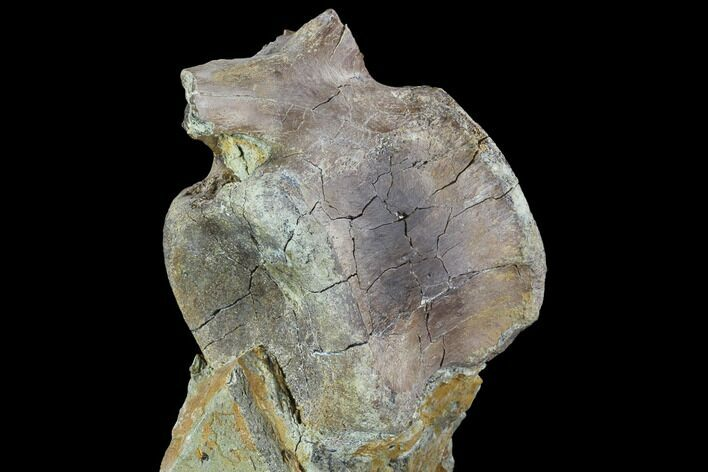 "4"" Hadrosaur Caudal Vertebra In Matrix - Aguja Formation, Texas"