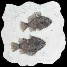 Buy Two Cockerellites (Priscacara) Fossil Fish - Hanger Installed - #88789