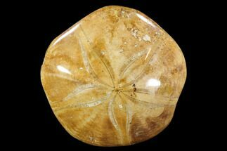 "Buy 2.7"" Polished Fossil Sand Dollar (Pygurus) - Jurassic - #88378"