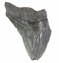 "5.08"" Partial Fossil Megalodon Tooth - Serrated Blade For Sale, #89018"
