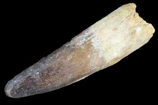 "Buy 3.24"" Spinosaurus Tooth - Real Dinosaur Tooth - #89107"