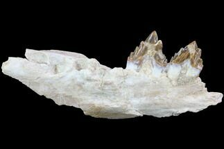 "Buy 8.4"" Archaeocete (Primitive Whale) Jaw Section - Basilosaur - #89254"