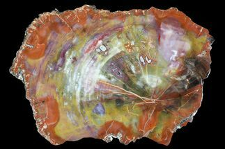 "Buy Brilliant, Colorful Arizona Petrified Wood Slab - 14.2"" - #89329"