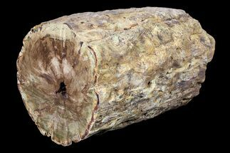 "Buy 6.3"" Triassic Woodworthia Petrified Log - Zimbabwe - #89323"