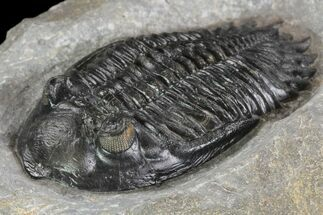 "Nice, 2.55"" Hollardops Trilobite - Ofaten, Morocco For Sale, #89228"