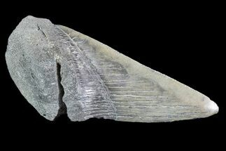 Carcharocles megalodon - Fossils For Sale - #89472