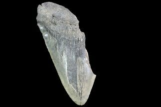 "Buy 5.29"" Partial Fossil Megalodon Tooth - #89422"