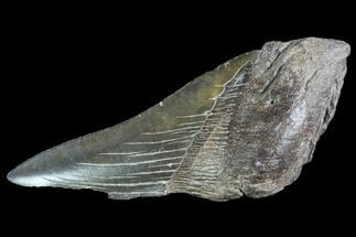"Buy 5.1"" Partial Fossil Megalodon Tooth - #89425"