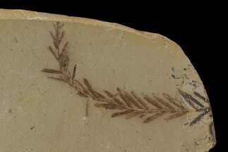 Metasequoia (Dawn Redwood) Fossil - Montana  For Sale, #89387
