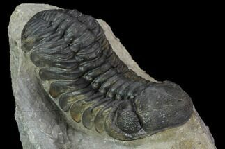 "2.35"" Detailed Austerops Trilobite - Beautiful Eyes For Sale, #89498"