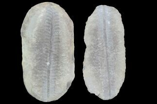 "3.5"" Pecopteris Fern Fossil (Pos/Neg) - Mazon Creek For Sale, #89930"
