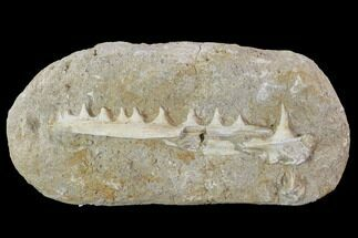 Enchodus sp. - Fossils For Sale - #90141