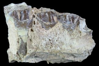 Hyracodon nebraskensis - Fossils For Sale - #90264
