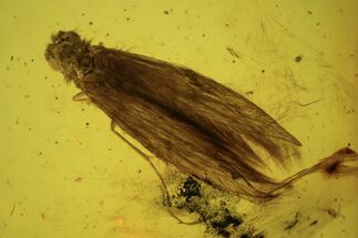 Detailed Fossil Caddisfly (Trichopterae) In Baltic Amber For Sale, #90842