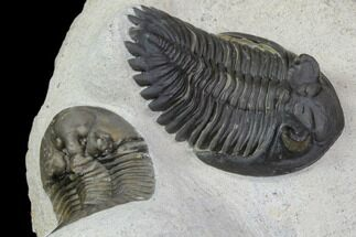 Excellent Platyscutellum & Hollardops Trilobite Association For Sale, #90707