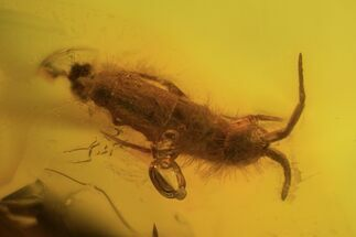 Buy Four Fossil Springtails (Collembola) In Baltic Amber - #90856
