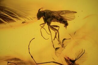 Buy Detailed Fossil Fly (Diptera) In Baltic Amber  - #90865