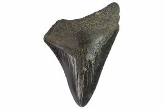 Carcharocles megalodon - Fossils For Sale - #90816