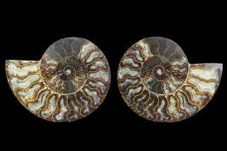 Cleoniceras - Fossils For Sale - #91161