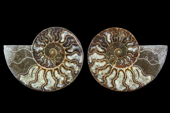 "5.4"" Cut & Polished Ammonite Fossil - Agatized"
