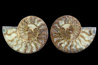 Cleoniceras - Fossils For Sale - #91164