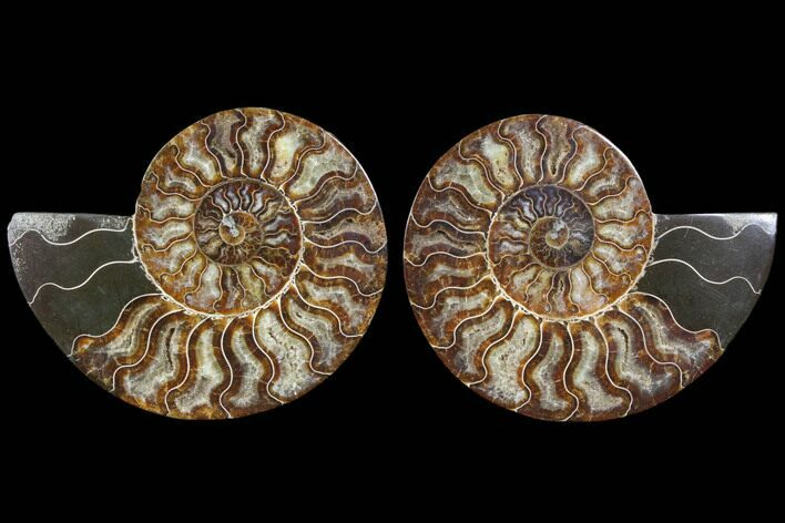 "6.25"" Cut & Polished Ammonite Fossil - Agatized"