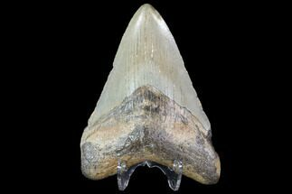 Carcharocles megalodon - Fossils For Sale - #91140