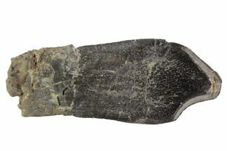 Camarasaurus grandis - Fossils For Sale - #91362