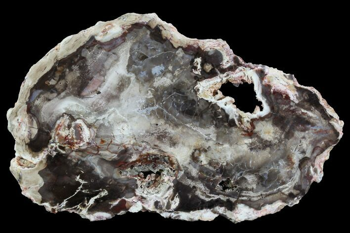 "6.35"" Miocene Petrified Wood (Cedar) Slab - Nevada"