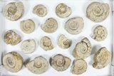 "Wholesale Flat: 2-3"" Jurassic Ammonites From England - 35 Pieces - #91429-2"