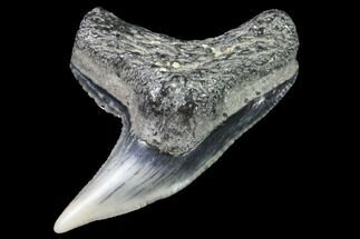 "Buy .82"" Colorful Fossil Tiger Shark (Galeocerdo) Tooth - Virginia - #91840"