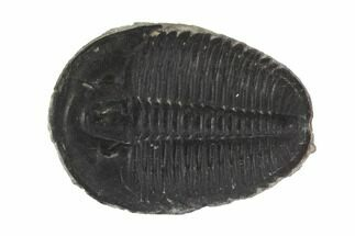 "Large, 1.26"" Elrathia Trilobite Fossil - Utah For Sale, #91877"