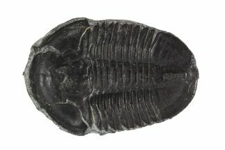 "Buy 1.13"" Asaphiscus Trilobite On Calcite Wafer - Utah - #91885"