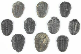 Elrathia kingii  - Fossils For Sale - #92073