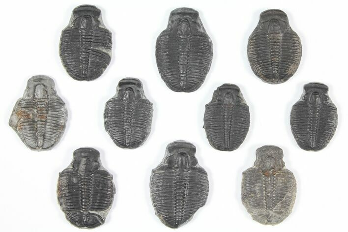 "Wholesale Lot: 1"" Elrathia Trilobite Molt Fossils - 10 Pieces"