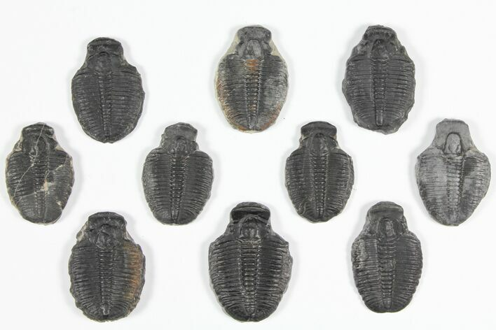 "Wholesale Lot: 1 1/4"" Elrathia Trilobite Molt Fossils - 10 Pieces"