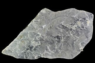 "Buy 12.2"" Polished, Pre-Cambrian Stromatolite (Pseudokussiella) Slab - #91891"