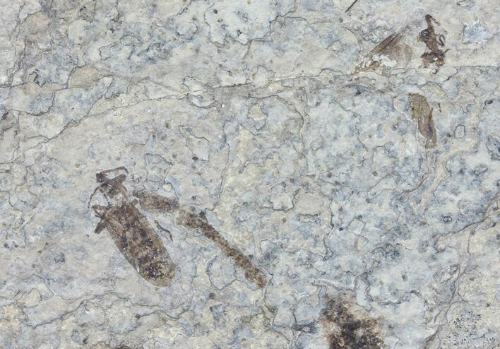 Two Fossil March Flies (Plecia) - Green River Formation