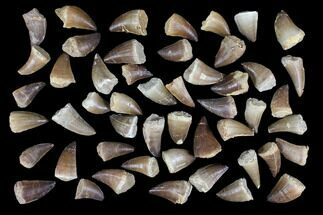 "Wholesale Box: 1-2"" Fossil Mosasaur Teeth - 50 Pieces For Sale, #92384"