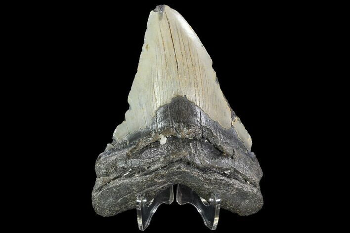 "Bargain, 5.04"" Fossil Megalodon Tooth - North Carolina"