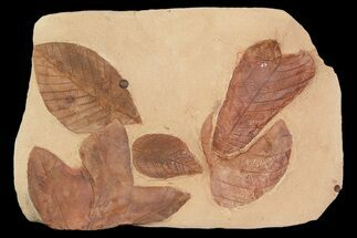 Aesculus hickeyi (Hickory Leaf), Rhamnites cleburnii & Macginitiea nobilis - Fossils For Sale - #92598