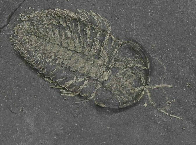 Pyritized Triarthrus Trilobite With Appendages - New York
