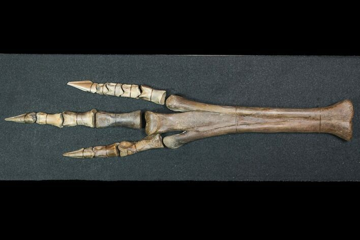 "20"" Struthiomimus Composite Foot - Two Medicine Formation"