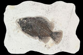 "4.95"" Cockerellites (Priscacara) Fossil Fish - Hanger Installed For Sale, #92672"
