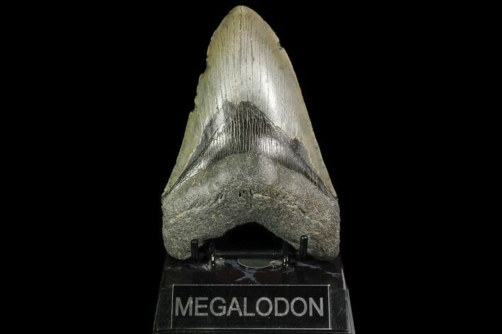 "Large, 5.41"" Fossil Megalodon Tooth"