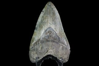 "Buy 4.88"" Fossil Megalodon Tooth - South Carolina - #92698"