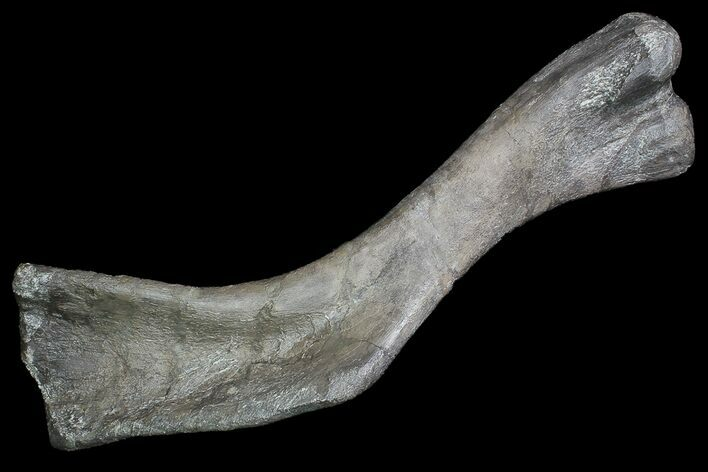 "17.5"" Hadrosaur Femur - Two Medicine Formation"