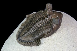 "Buy 1.7"" Tower Eyed Erbenochile Trilobite - Top Quality - #92809"
