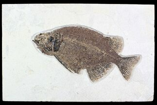 "10.7"" Elegant, Fossil Fish (Phareodus) - Wyoming For Sale, #92864"